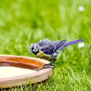 Meise auf Vogeltränke