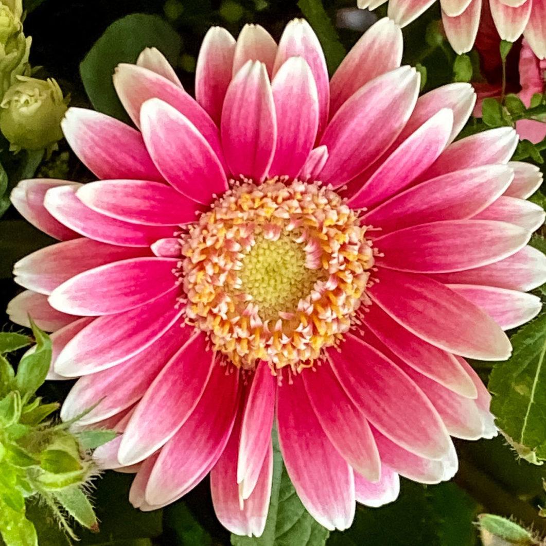 Blumendiagonale mit Gerbera